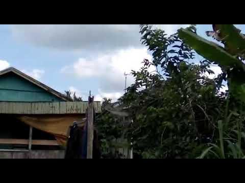 Pikat Kolibri Kelapa