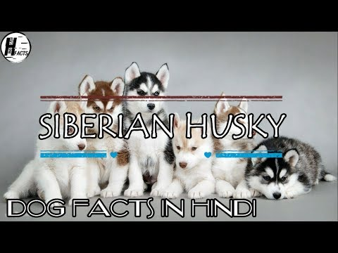 Siberian Husky Dog Facts | Hindi | Dog Facts | HINGLISH FACTS