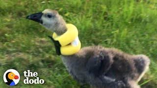 Gosling Finds The Perfect Mom To Help Her Stand Up Straight | The Dodo Little But Fierce