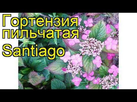 Гортензия пильчатая Сантьяго. Краткий обзор, описание характеристик hydrangea serrata Santiago