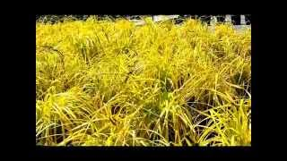 Best Ornamental Grasses - Bowles Golden Sedge (Carex elata Aurea)
