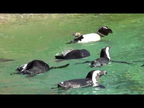 South African Penguins swimming