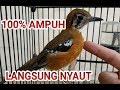 Kicau Burung Anis Cendana Gacor Isian Masteran Burung Pancingan  Mp3 - Mp4 Download