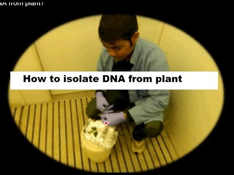How to isolate DNA from plant?