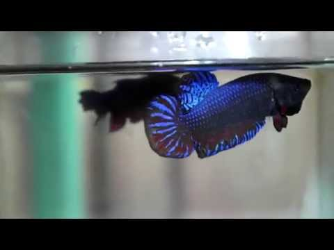 Top INDO Betta Fighter ( MAN OF STEEL  )