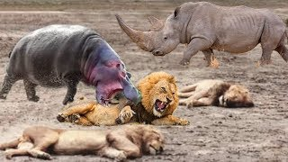 Family Hippo Attack Crazy Lion Hunting, Powerful Rhino vs Lion |  Real Fight Wild Animal Attacks