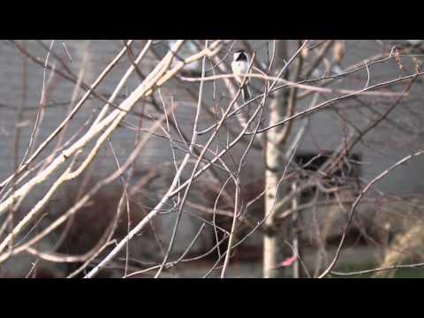 Black Capped Chickadee Sings