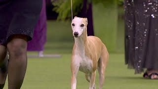 'Bourbon' the whippet wins Best Hound at 2020 Westminster Dog Show