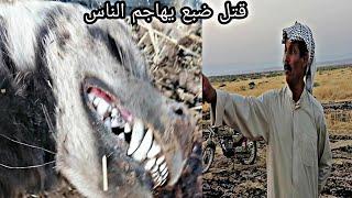 ضبع يهجم على فلاح في الصحراء ويقتل كل شيء سبحان الله