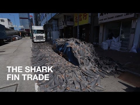 The Shark Fin Trade | News In Brief | Lush Times