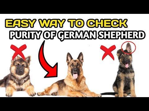 How To Check Purity OF German Shepherd / In Hindi / easy way to check purity of German shepherd