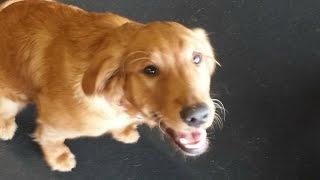 "5 Month Old Golden Retriever ""hannah"" Before/after Video | Harrisonburg Dog Trainer"