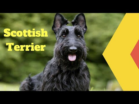 Amazing Facts on Scottish Terrier | In Hindi | Dog Facts | Animal Channel Hindi