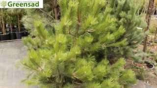 Сосна черная австрийская -видео-обзор от Greensad(Сосна черная австрийская -- хвойное дерево высотой 20-30 м. Красивое стройное дерево. Светолюбивое, засухоусто..., 2013-11-08T13:31:24.000Z)