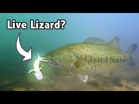 Do Bass Actually Eat LIZARDS?? | GoPro Live Lizard Footage Underwater
