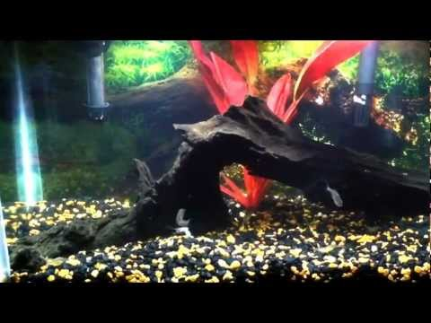 My 4 baby piranhas eating a ghost shrimp!