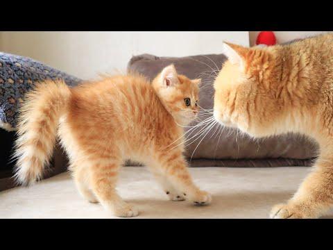 cat-william-meets-his-baby-kitten-named-artist-😂😍
