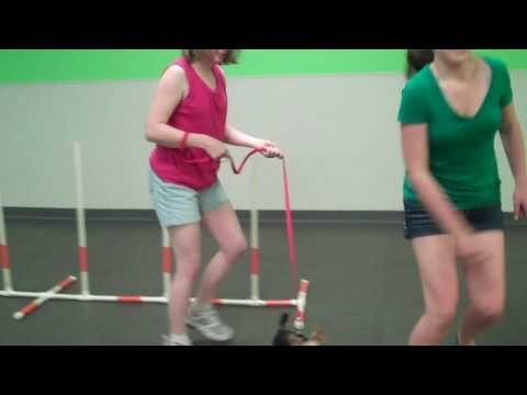 Gino in dog agility class at Dogtopia part 1