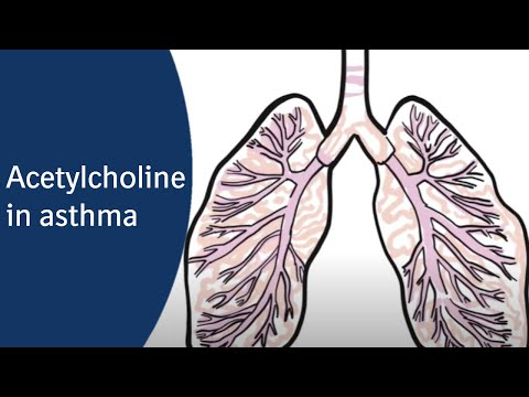 What Does Acetylcholine Do In Asthma?