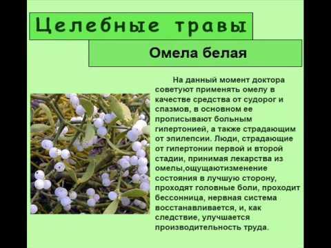 Растение омела белая купить, цена, отзывы, свойства