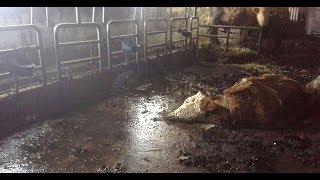 Verendete Rinder: Verdacht auf Tierquälerei ORF Kärnten heute