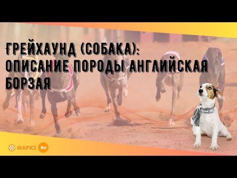 Грейхаунд (собака): описание породы английская борзая