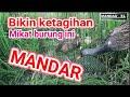 Mikat Burung Mandar Sawah  Mp3 - Mp4 Download