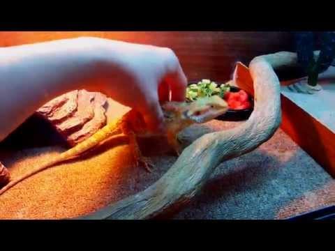 видео: Террариум для бородатой агамы!(извиняюсь оговорился размер 80*40*40см) vivarium for breaded dragon!