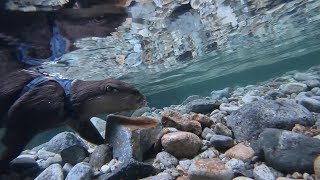 A trip around the scenic river with an otter Part Ⅰ [Otter life Day 128] カワウソとゆく絶景川巡りの旅 Part Ⅰ