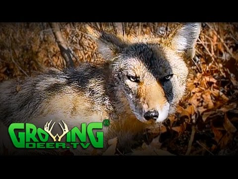 How To Improve Deer Hunting Properties: Remove Predators (#323) @GrowingDeer.tv