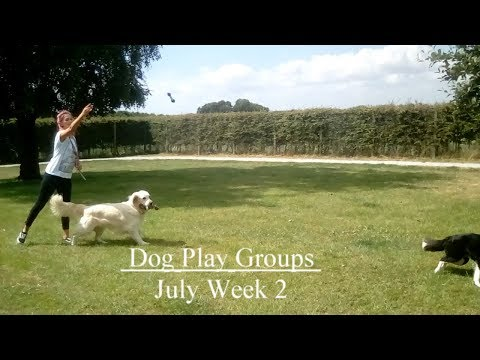 Home From Home Pet Care | Swanland | Dogs Playing | July Week 2 2018