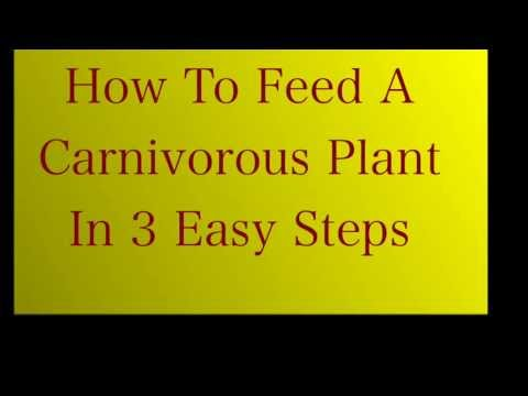 NEVER GET BITEN Again. How to Feed a Carnivorous Plant in 3 Easy Steps. Basic Nepenthes Care