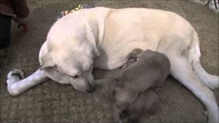 超大型犬スパニッシュマスティフの情報はこちらから http://www.masaki-...