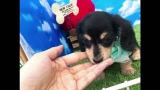 ペットショップ 犬の家 尼崎店 「87638 カニンヘン・ダックスフンド」