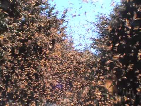 Cascading Monarch Butterflies