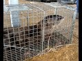River Otter live trapped at Lake of the Ozarks