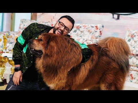 Boss are 90 kg si este cel mai frumos Mastiff Tibetan din lume