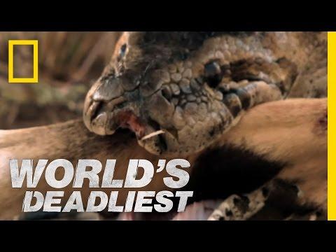 Python Eats Antelope | World's Deadliest