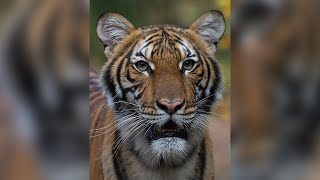 Tiger at Bronx Zoo in NYC tests positive for COVID-19