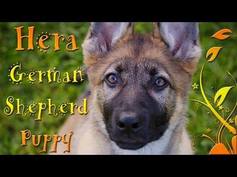 Molars Hera - German shepherd puppy