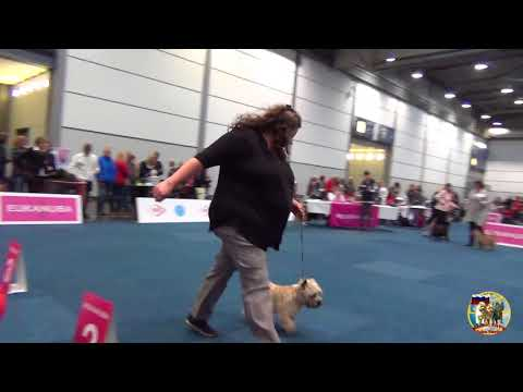 WORLD DOG SHOW ALL DOGS CAIRN TERRIER LEIPZIG 11.11.2017