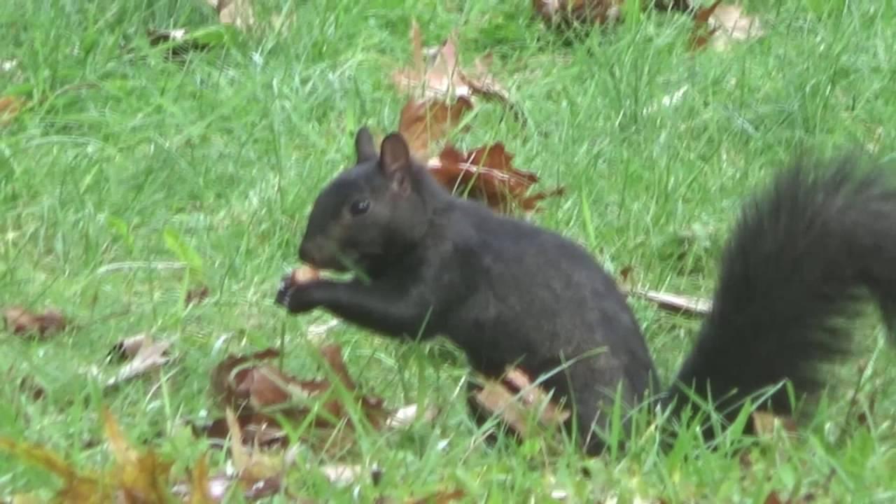 Michigan Black Squirrel | Playing