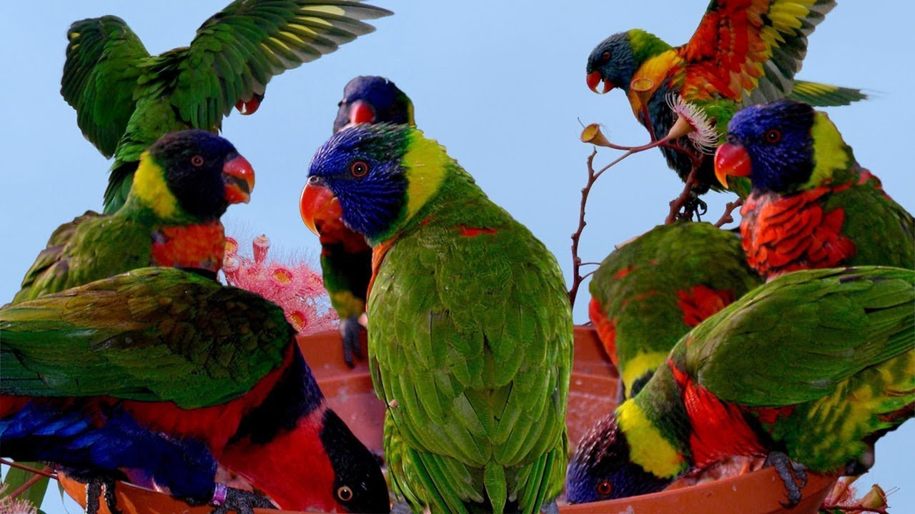 Bird centre wants to reunite buddy the lost rainbow lorikeet with its owner