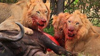 Sohebele male lions killing a buffalo