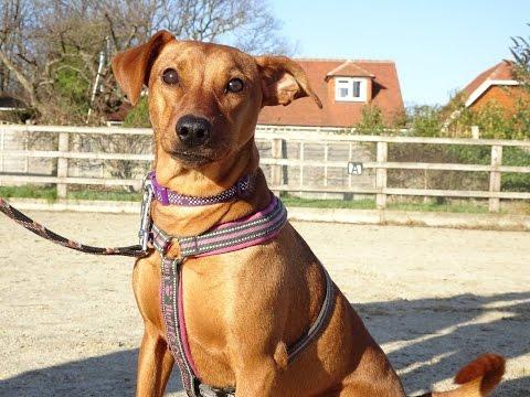 Biscuit - German Pincher - 3 Week Residential Dog Training
