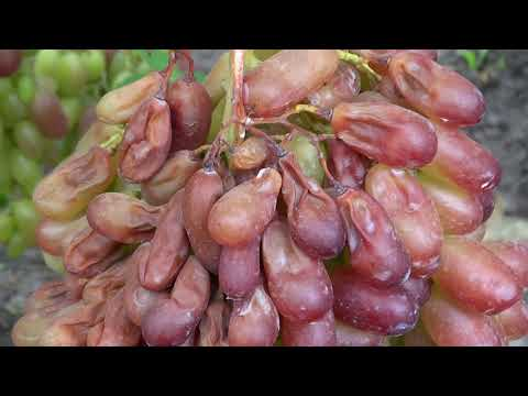 Что наделал суховей с Маникюр фингером 16 08 2019г.виноградник Король В.Н.