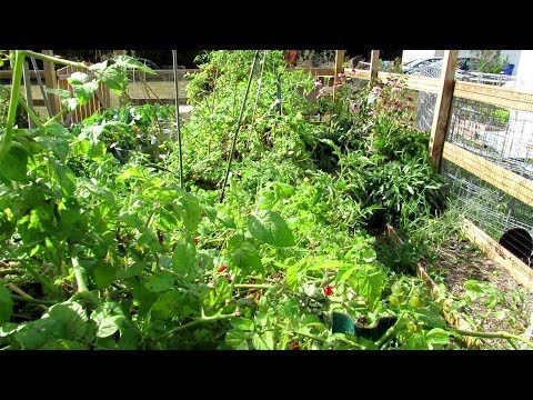 You Asked: How Did My Cherry Tomato Hedge Do? - Lessons Learned Growing Tomatoes Densely