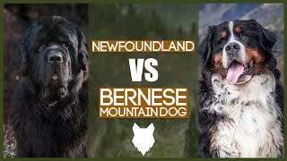 NEWFOUNDLAND VS BERNESE MOUNTAIN