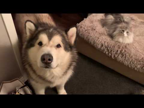 ADVICE ON INTRODUCING A CAT TO A DOG FAMILY