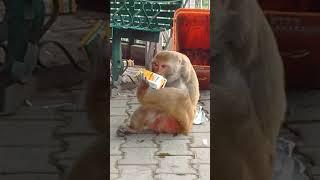 Monkey without hands | Drinking Juice | Mata Vaishno Devi |